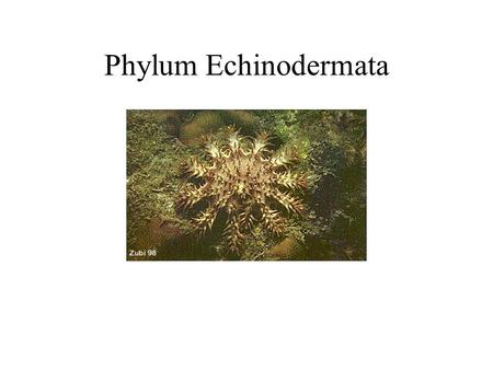 Phylum Echinodermata. General Characteristics They live only in the sea. They are characterized by spiny skin, an internal skeleton, a water vascular.