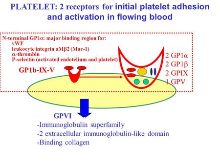 GP1b-IX-V 2 GP1α 2 GP1  2 GPIX 1 GPV GPVI -Immunoglobulin superfamily -2 extracellular immunoglobulin-like domain -Binding collagen PLATELET: 2 receptors.