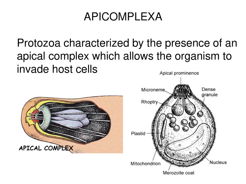 Paraziți apicomplexan protozoan Raspunsuri Parazitologie