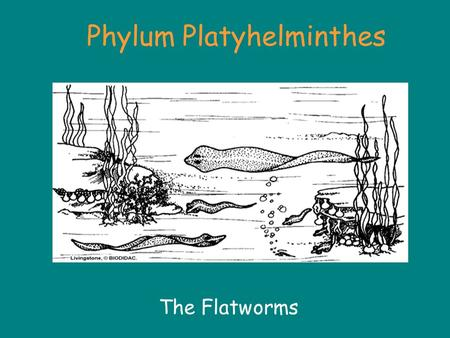 Phylum Platyhelminthes The Flatworms. Phylum Platyhelminthes About 20,000 species »About 80% of parasites are from this phylum Divided into three major.