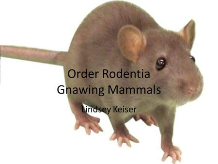 Order Rodentia Gnawing Mammals Lindsey Keiser. Order Rodentia Largest order of mammals – Over 2000 living species placed in 30 families – Over 40% of.