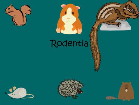 Rodentia. The single largest group of mammals is the________________. Most ____________mammals are rodents. There are about ___________living species.