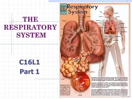 THE RESPIRATORY SYSTEM C16L1 Part 1 What does the respiratory system do? How do the parts of the respiratory system work together? How does the respiratory.