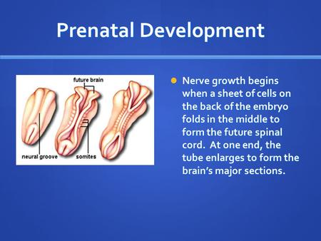 Prenatal Development Nerve growth begins when a sheet of cells on the back of the embryo folds in the middle to form the future spinal cord. At one end,