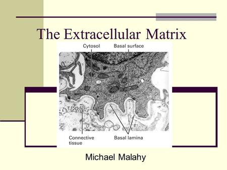 The Extracellular Matrix Michael Malahy. ECM in Epithelial Sheets 3 types of molecules abundant in ECM Proteoglycans Cushion cells and bind extracellular.