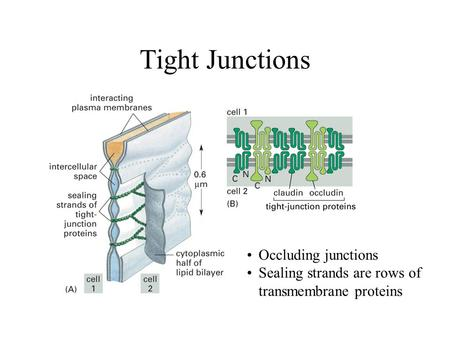 Tight Junctions Occluding junctions