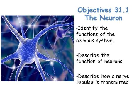Objectives 31.1 The Neuron -Identify the functions of the nervous system. -Describe the function of neurons. -Describe how a nerve impulse is transmitted.