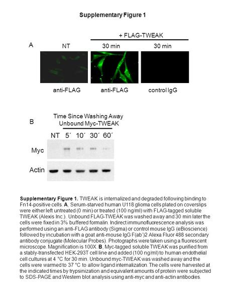 Supplementary Figure 1 Supplementary Figure 1. TWEAK is internalized and degraded following binding to Fn14-positive cells. A, Serum-starved human U118.