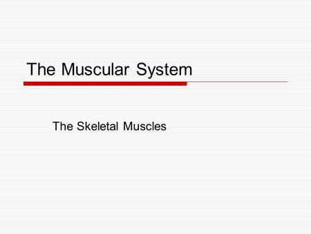 The Muscular System The Skeletal Muscles.