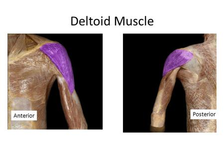 Deltoid Muscle Anterior Posterior.