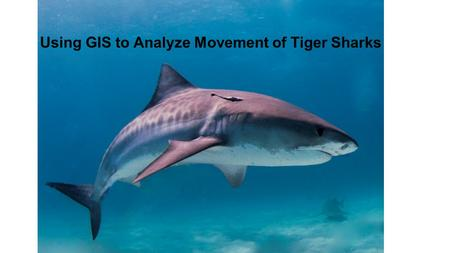 Using GIS to Analyze Movement of Tiger Sharks. Shark Tags SPOT  PAT.