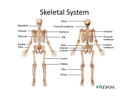 Aim: How is the human skeletal system organized? - ppt download