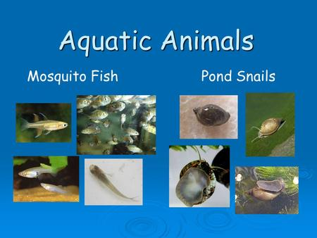 Aquatic Animals Mosquito Fish Pond Snails.