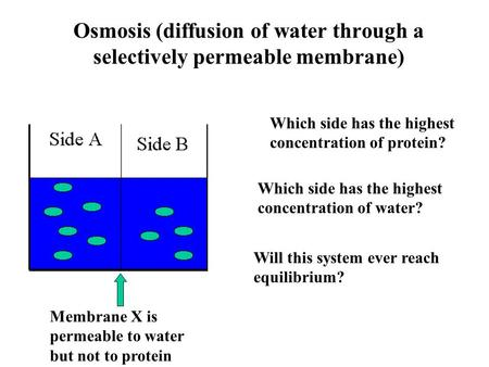 Osmosis (diffusion of water through a selectively permeable membrane) Membrane X is permeable to water but not to protein Which side has the highest concentration.