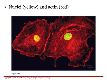 Nuclei (yellow) and actin (red)