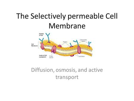The Selectively permeable Cell Membrane Diffusion, osmosis, and active transport.