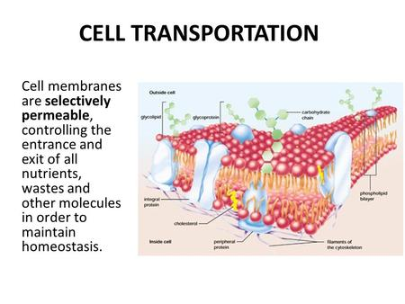 CELL TRANSPORTATION Cell membranes are selectively permeable, controlling the entrance and exit of all nutrients, wastes and other molecules in order to.