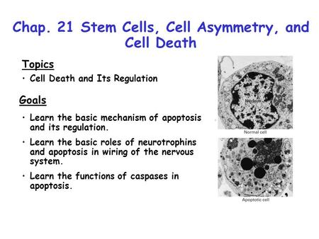 Chap. 21 Stem Cells, Cell Asymmetry, and Cell Death Topics Cell Death and Its Regulation Goals Learn the basic mechanism of apoptosis and its regulation.
