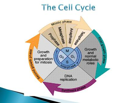  Cell cycle – regular pattern of eukaryotic cells that includes growth, DNA replication and cell division  All eukaryotic cells go through the same.