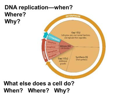 DNA replication—when? Where? Why? What else does a cell do?
