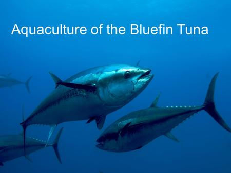 Aquaculture of the Bluefin Tuna. Taxonomy Genus Thunnus Species: Maccoyii, Orientalis, Thynnus.