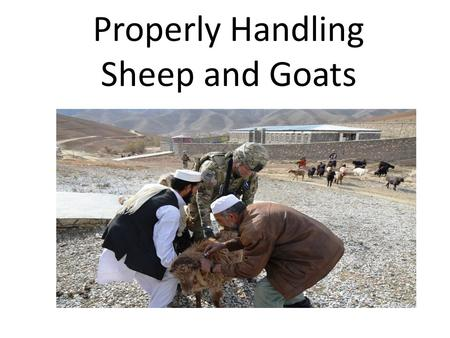 Properly Handling Sheep and Goats. Sheep are herd animals and do the best when they are kept together with each other. It is easier to move a herd of.
