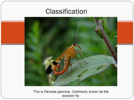 Classification This is Panorpa japonica. Commonly known as the scorpion fly.