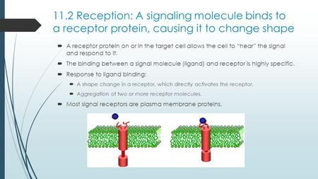 11.2 Reception: A signaling molecule binds to a receptor protein, causing it to change shape A receptor protein on or in the target cell allows the cell.