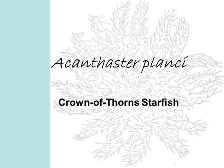 Acanthaster planci Crown-of-Thorns Starfish. Acanthaster planci Biological Classification Domain: Kingdom: Phylum: Class: Order: Family: Genus: Species: