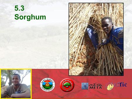 5.3 Sorghum. Sorghum is grown in warm or hot regions that have summer rain-fall, even if rainfall is as low as 400-600 mm. The most favorable mean temperature.