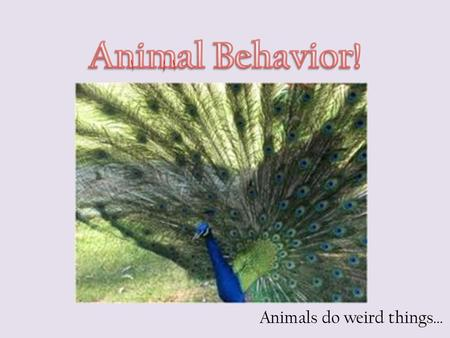 Animals do weird things…. Behavior is the way an organism reacts to changes in its internal condition or external environment.