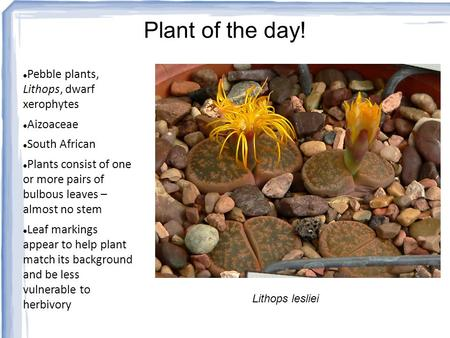 Plant of the day! Pebble plants, Lithops, dwarf xerophytes Aizoaceae