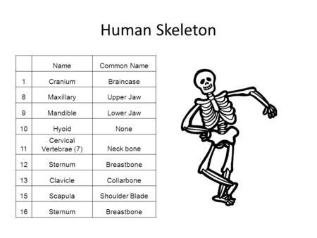 The Skeleton. Names of bones: Scientific Name:Common Name ...