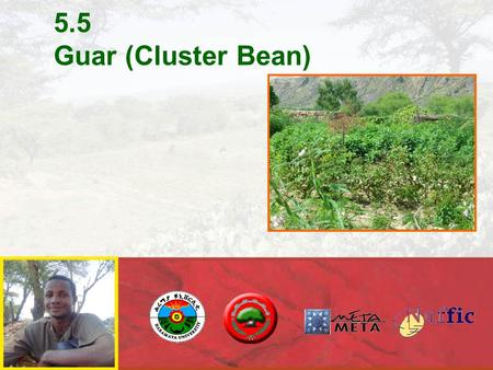 5.5 Guar (Cluster Bean). GUAR: forgotten crop growing in most marginal conditions many modern applications.