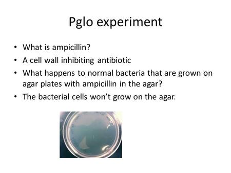 Pglo experiment What is ampicillin? A cell wall inhibiting antibiotic What happens to normal bacteria that are grown on agar plates with ampicillin in.