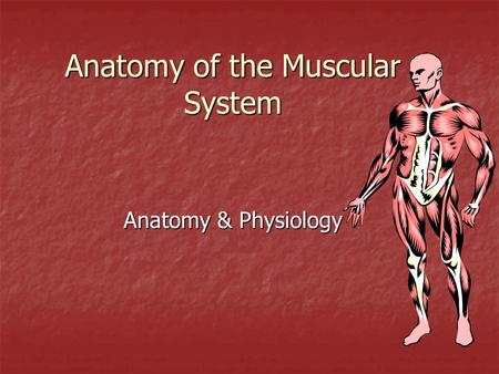 Anatomy of the Muscular System Anatomy & Physiology.