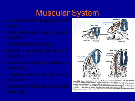 Muscular System As with the skeltal system most of the muscular system also develops from the mesodermal germ layer Smooth muscle develops from splanchnic.