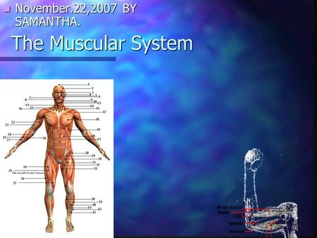 November.22,2007 BY SAMANTHA. The Muscular System.