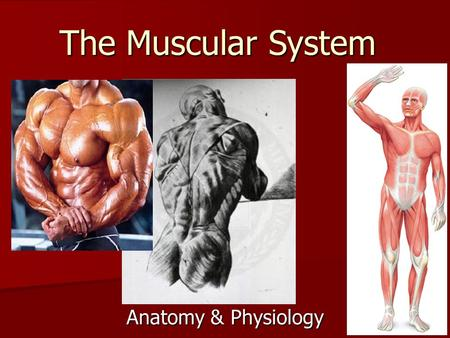 The Muscular System Anatomy & Physiology. Overview of Muscle Tissues 3 Types of Muscle Tissue: 1.Skeletal 2.Cardiac 3.Smooth.