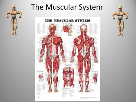 The Muscular System What are the Parts of the Muscular System? There are three types of muscles that make up the muscular system: smooth, skeletal and.