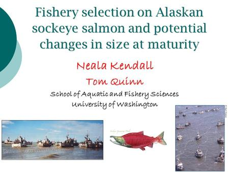 Fishery selection on Alaskan sockeye salmon and potential changes in size at maturity Neala Kendall Tom Quinn School of Aquatic and Fishery Sciences University.