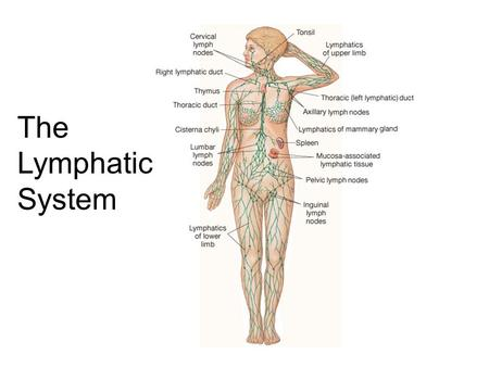The Lymphatic System. Roles of the Lymphatic System 1)One-way drainage system. 2) Lipid Absorption from Small Intestine. 3) Produce & circulates Immune.