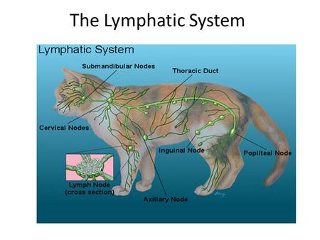 The Lymphatic System. Capillary Bed As the arterial blood moves in to the capillary bed it is at a high pressure. Blood plasma, minus the blood cells.