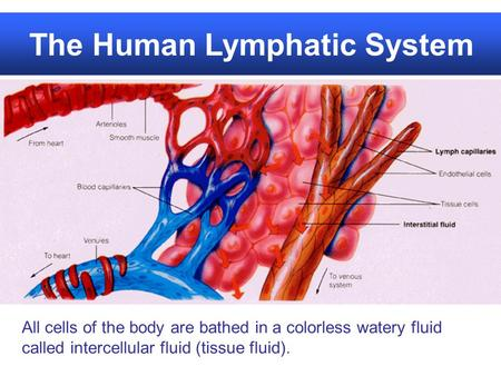The Human Lymphatic System All cells of the body are bathed in a colorless watery fluid called intercellular fluid (tissue fluid).
