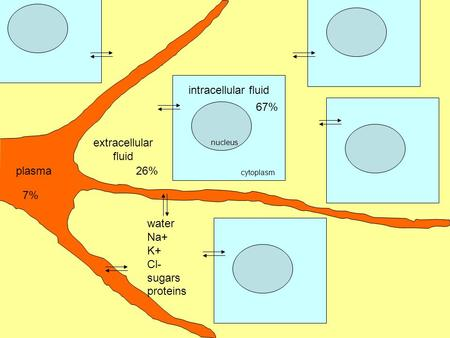 Nucleus cytoplasm extracellular fluid water Na+ K+ Cl- sugars proteins plasma intracellular fluid 7% 26% 67%