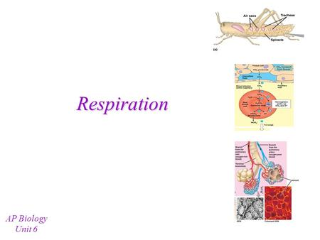 Respiration AP Biology Unit 6 Types of Respiratory Systems Animals typically do gas exchange through one (or more) of the following means: –Skin (body.