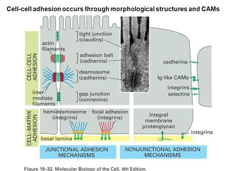Cell-cell adhesion occurs through morphological structures and CAMs.