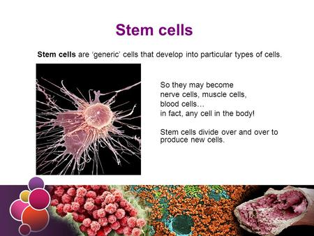 Stem cells Stem cells are 'generic' cells that develop into particular types of cells. So they may become nerve cells, muscle cells, blood cells… in fact,