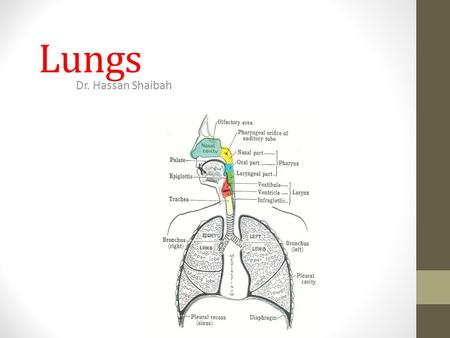 Lungs Dr. Hassan Shaibah.