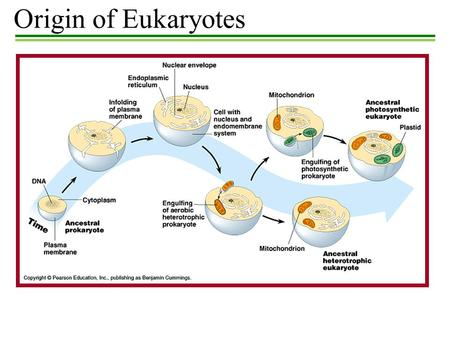 Origin of Eukaryotes.